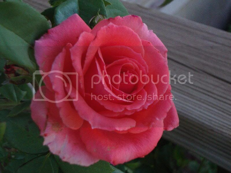 Climbing America Rose ~ An Intensely Colored Beauty